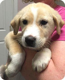 Hound (Unknown Type)/Retriever (Unknown Type) Mix Puppy for adoption in Billerica, Massachusetts - Bruno