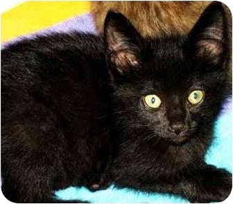 Domestic Shorthair Kitten for adoption in Muskegon, Michigan - RASPUTIN