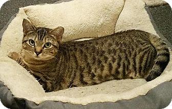 Domestic Shorthair Cat for adoption in N. Billerica, Massachusetts - Demi