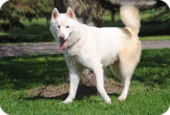 Husky Mix Dog for adoption in Olivet, Michigan - Bolt