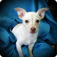 Adopt A Pet :: Lily - Puppy - Dallas, TX