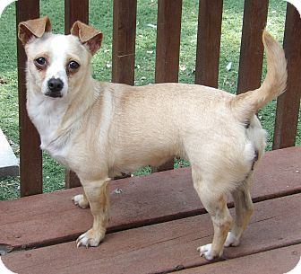 Chihuahua/Dachshund Mix Dog for adoption in Williamsport, Maryland - Blondie(11 lb) Fun Sweetie
