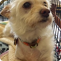 Adopt A Pet :: Hattie - North Richland Hills, TX