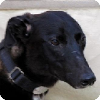 Greyhound Dog for adoption in El Cajon, California - Vanilla