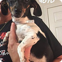 Dachshund/Chihuahua Mix Dog for adoption in Spring, Texas - Dixie
