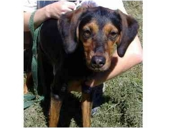 Coonhound/Beagle Mix Puppy for adoption in Huntingdon, Pennsylvania - Sandy
