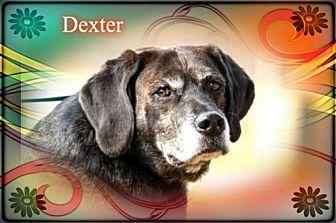 Plott Hound Dog for adoption in New Castle, Delaware - Dexter