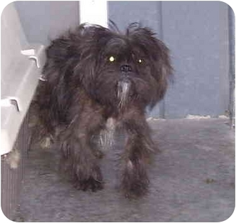 Shih Tzu Mix Dog for adoption in Somerset, Pennsylvania - Windy