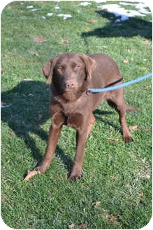 Labrador Retriever Dog for adoption in Lewisville, Indiana - Corrie
