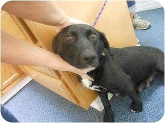 Australian Cattle Dog/Shepherd (Unknown Type) Mix Dog for adoption in Clovis, New Mexico - Saddie