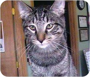 Domestic Shorthair Cat for adoption in Columbiaville, Michigan - Major