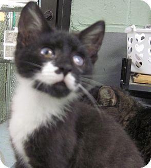 Domestic Shorthair Kitten for adoption in Taunton, Massachusetts - MOOSE TRACKS