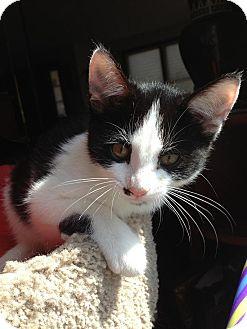 Domestic Shorthair Kitten for adoption in Worcester, Massachusetts - Sierra