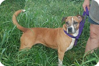 Boxer Mix Dog for adoption in Albany, New York - Molly
