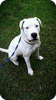 American Bulldog Mix Dog for adoption in Palm Bay, Florida - Colin