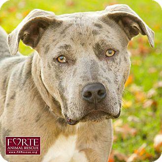 Catahoula Leopard Dog/Labrador Retriever Mix Dog for adoption in Marina del Rey, California - Opie