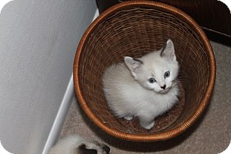 Siamese Kitten for adoption in Smyrna, Georgia - Atticus