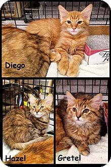 Domestic Longhair Kitten for adoption in Merrifield, Virginia - Diego