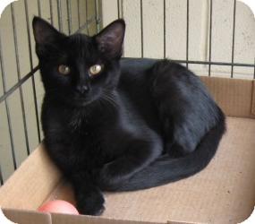 Domestic Shorthair Kitten for adoption in Stillwater, Oklahoma - Salem