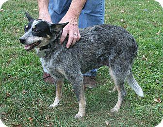 Blue Heeler Dog for adoption in Salamanca, New York - Blue - GREAT DOG!