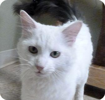 Domestic Longhair Cat for adoption in Hastings, Nebraska - Ives