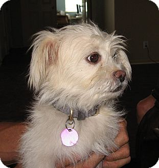 Terrier (Unknown Type, Medium) Mix Dog for adoption in Woodland, California - Snowy
