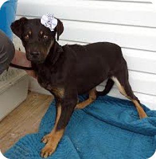 Labrador Retriever Mix Puppy for adoption in Darlington, South Carolina - Grace