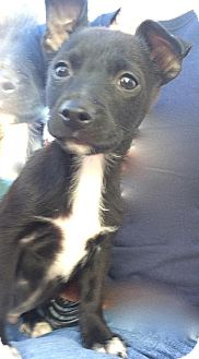 Chihuahua Puppy for adoption in Englewood, Colorado - SNOW