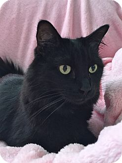 Domestic Longhair Cat for adoption in South Haven, Michigan - Blackie