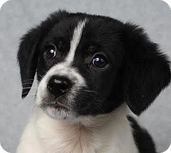 Spaniel (Unknown Type) Mix Puppy for adoption in Minneapolis, Minnesota - Alex