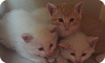 Siamese Kitten for adoption in Encinitas, California - Milo