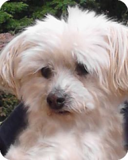 Maltese Dog for adoption in West Harrison, New York - Amy*Adopted