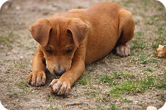 Hound (Unknown Type) Mix Puppy for adoption in Sagaponack, New York - Gabrielle