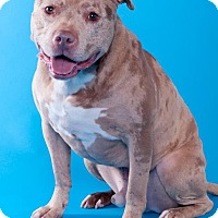 Adopt A Pet :: Bojangles - Chicago, IL
