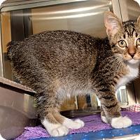 Adopt A Pet :: Mr. NoTail - Dallas, TX