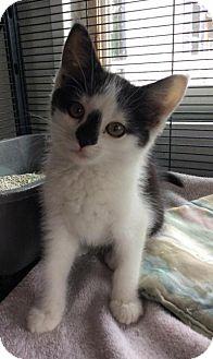 Domestic Shorthair Kitten for adoption in Breinigsville, Pennsylvania - Snowflake