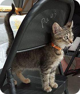Domestic Shorthair Kitten for adoption in Stafford, Virginia - April
