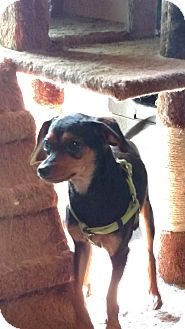 Miniature Pinscher/Chihuahua Mix Dog for adoption in Benton, Pennsylvania - Lady