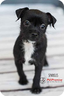Maltese/Chihuahua Mix Puppy for adoption in Columbus, Ohio - Sparkle
