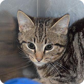 Domestic Shorthair Kitten for adoption in Brooksville, Florida - 10309847