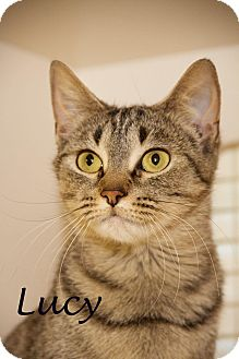Domestic Shorthair Cat for adoption in Livonia, Michigan - Lucy