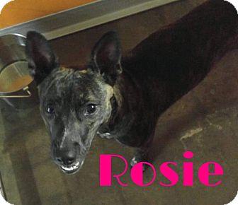 German Shepherd Dog/Terrier (Unknown Type, Medium) Mix Dog for adoption in Grand Rapids, Michigan - Rosie