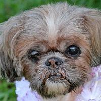 Shih Tzu Mix Dog for adoption in Albemarle, North Carolina - Annie