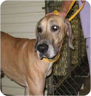 Great Dane Dog for adoption in Homestead, Florida - Roma
