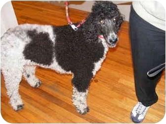 Standard Poodle Dog for adoption in Center Moriches, New York - Sabrina
