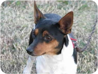 Rat Terrier Dog for adoption in Drumright, Oklahoma - Bailey