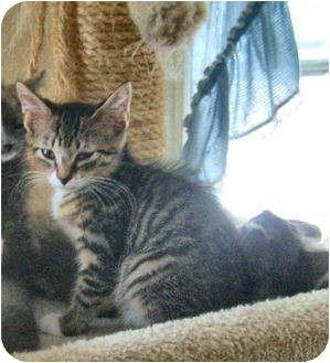 Domestic Shorthair Kitten for adoption in Colmar, Pennsylvania - Kendal