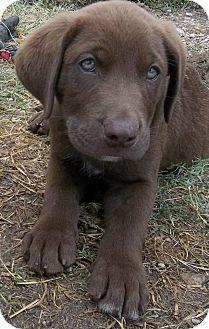 Labrador Retriever Mix Puppy for adoption in berwick, Maine - Cole