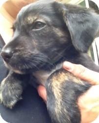 Australian Shepherd/Border Terrier Mix Puppy for adoption in Marlton, New Jersey - Baby Buddy