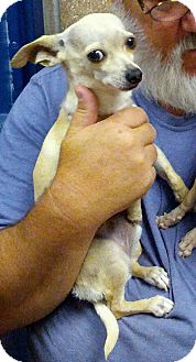 Chihuahua Dog for adoption in San Angelo, Texas - Belle